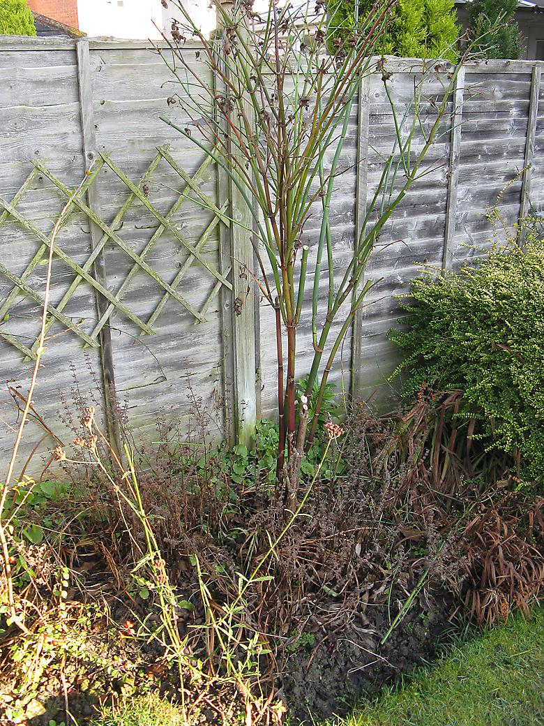 pheasant berry bush