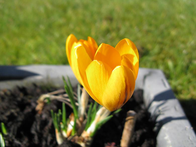 Crocus in flower. Photo 4400