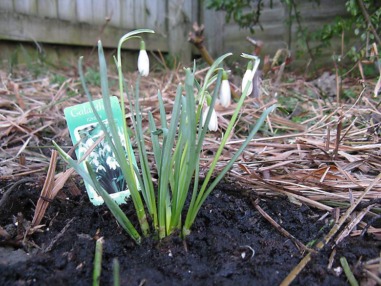 Snowdrops Photo 4428